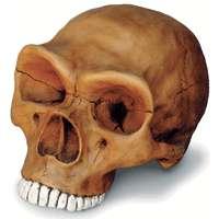 neanderthal-skull