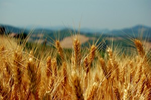 wheat-plants